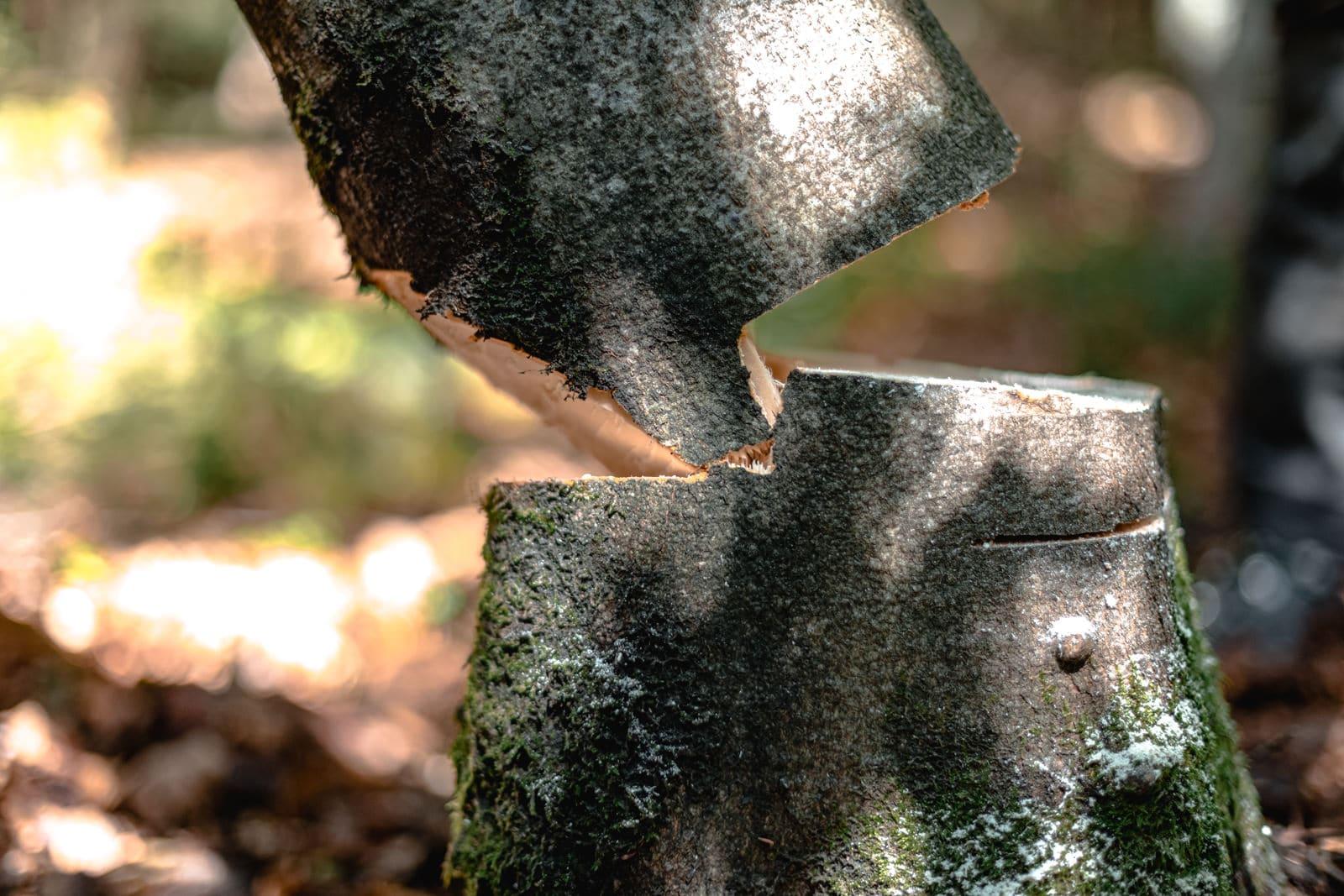 Richtiger Anschnitt eines Baumes der gerade gefällt wird