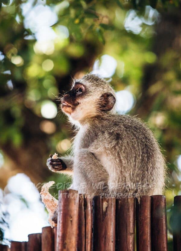 Ein Affenbaby träumt im schatten eines grünen Baumes vor sich hin.