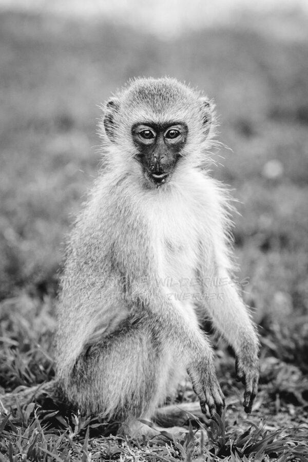 Ein junger Affe sitzt auf einer Wiese und schaut in die Kamera