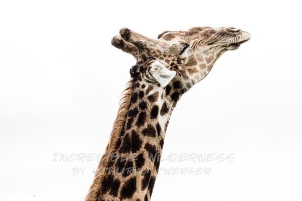 Giraffe streckt ihren Kopf in die Höhe und geniesst die Sonne