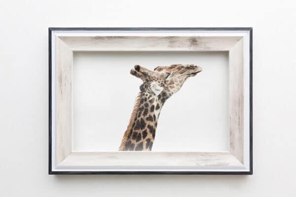 Giraffe streckt ihren Kopf in die Höhe und geniesst die Sonne. Foto in Bilderrahmen.