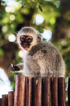 Ein Baby Affe sitzt im Schatten eines Baumes und schaut in die Kamera.